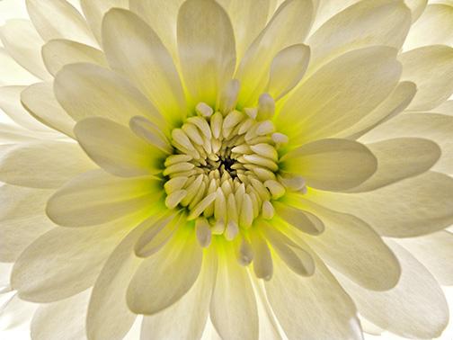 White fower 12 ©David Moenkhaus